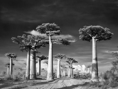 arbre 04_Avenue_of_the_Baobabs